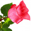 Beautiful single  pink rose .  Isolated. — Stock Photo