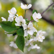 Blossoming of  cherry plum close up. — Stock Photo