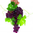 Branch of black grapes hold in hand. — Stock Photo