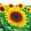 Beautiful sunflowers in the field. — Stock Photo