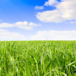Green grass, the blue sky and white clouds — Stockfoto