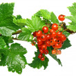 Red currant on branch with foliage. Isolated - Stock Photo