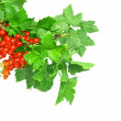 Stock Photo: Red currant on branch with foliage. Isolated