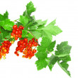 Red currant on branch with foliage. Isolated — Stock Photo