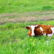 Cow lie on meadow. — Stock Photo #6912782