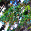 Pine branch with cones. — Stock Photo