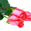 Stock Photo: Beautiful three pink roses . Isolated.