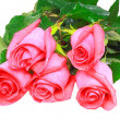 Beautiful pink roses .  Isolated. — Stock Photo