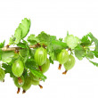 Ripe gooseberry on branch. Isolated. - Stock Photo