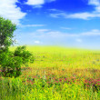 Alone one big tree on green field . Panorama - Stock Photo