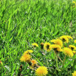 Green grass,dandelions. — Stock Photo