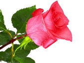 Beautiful single pink rose . Isolated. — Stock Photo