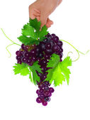 Branch of black grapes hold in hand. — Foto de Stock