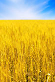 Field of golden rye and sun. — Stock Photo