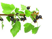 Black currant on branch with green leaf. — Stockfoto