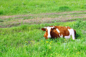 Cow lie on meadow. — Stock Photo