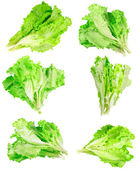 Collage (set) of fresh Leaf of lettuce . Isolated — Stock Photo