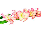 Pink gladiolus . Isolated on white. — Стоковое фото