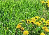 Erba verde, tarassaco. — Foto Stock