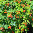 Bush of dog Rose. - Stock Photo