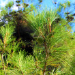 Pine branch with cones. — Stock Photo #7088108