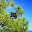 Stock Photo: Pine branch with cones.
