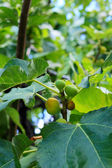 A fruit of fig-tree. — Stock Photo