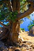Alone old tree of Pine. Crimea, Ukraine — Stock Photo