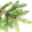 Fresh green fir branches. Isolated - Stockfoto