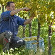 Vintner in wineyard — Stock Photo #7183323