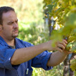 Vintner in wineyard — Stock Photo #7276877