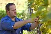 Vintner in the wineyard — Stock Photo