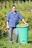 Vintner During The Harvest — Stock Photo