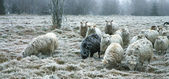 Winter sheep — Stock Photo