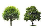 дерево, изолированные против белый. — Стоковое фото