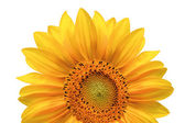 Bright colorful yellow sunflower isolated over white — Stock Photo