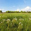 Many white dandelions in the field. — Stock Photo