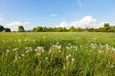 Many white dandelions in the field. — Foto de Stock