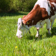Grazing cow — Stock Photo #7368447