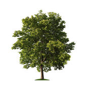 Tree over white — Stock Photo