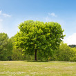 Maple tree in the park — Stock Photo #7512122