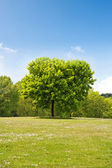 Maple tree in the park — Stock Photo