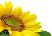 Beautiful sunflower over white — Stock Photo