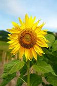 Solros i fältet — Stockfoto
