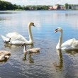 Swan family - Stock Photo