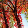 Autumn red tree — Stock Photo