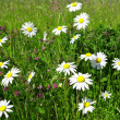 Stock Photo: Daisies in the meadow