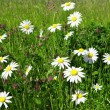 Daisies in the meadow — Stock Photo