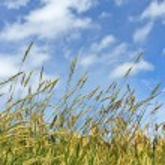 Corn on the blue sky — Stock Photo