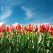 Tulips — Stock Photo #7679832